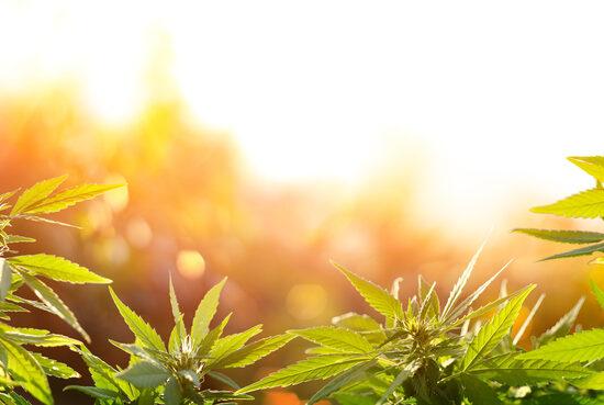 cannabis e cosmetici CBD